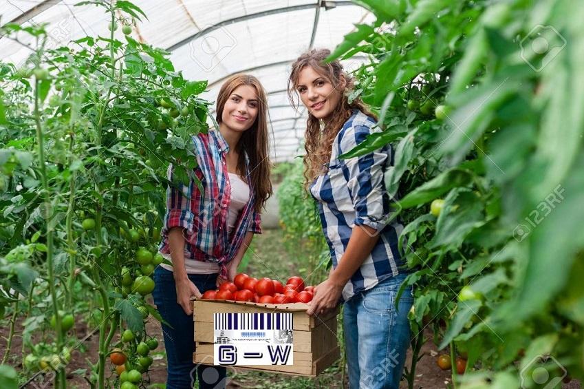 Mujeres productoras y emprendedoras con producción de tomates en invernaderos