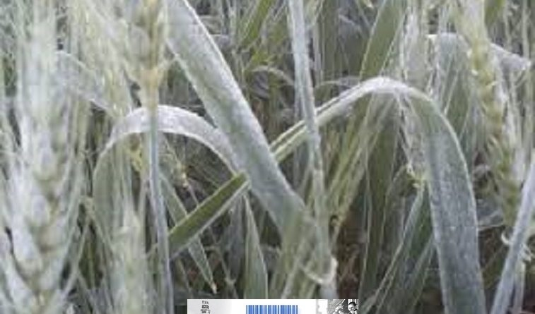 Cultivos afectados por heladas