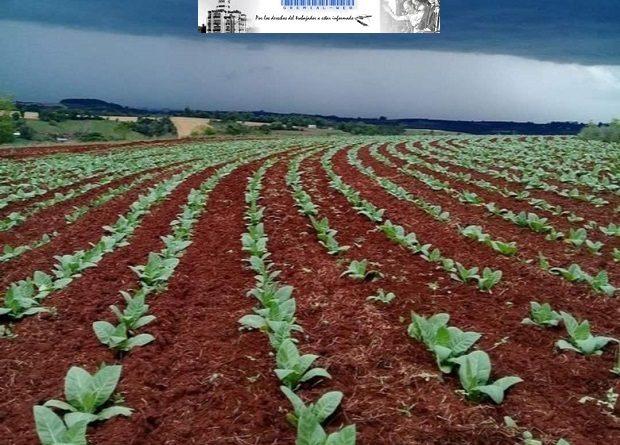 Productores tabacaleros con nueva cooperativa