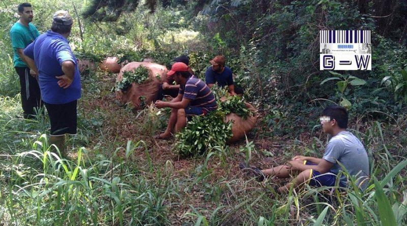 Trabajadores rurales de la cosecha de yerba mate