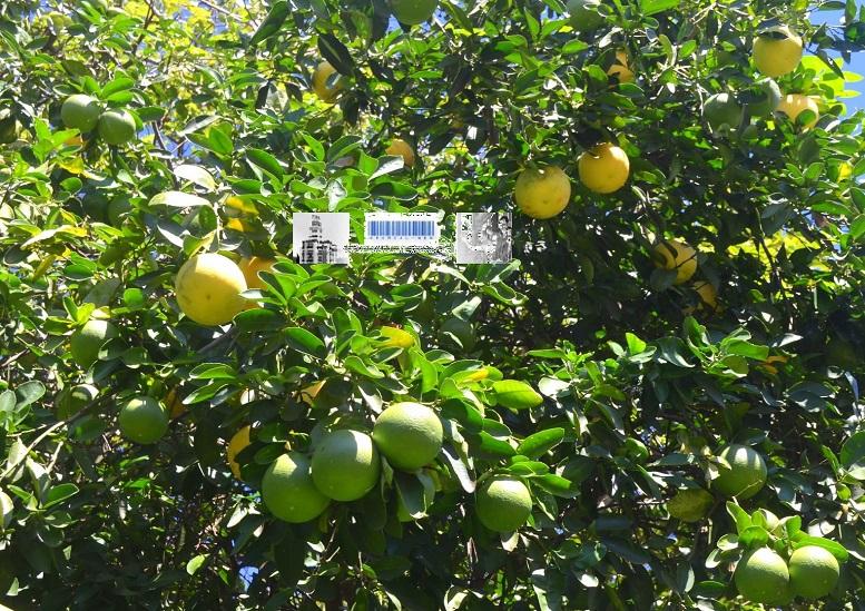 Producción de fruta en Misiones