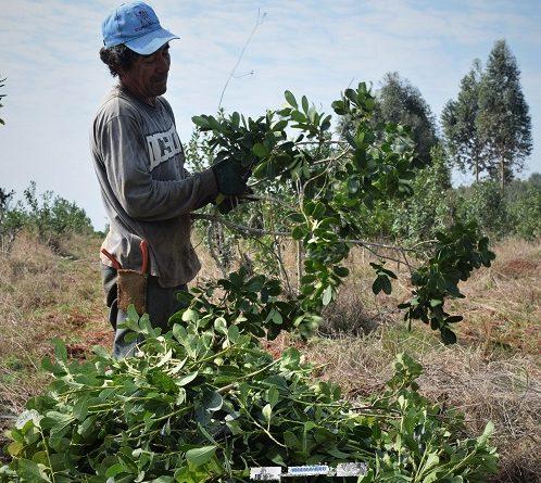 Compatibilidad de planes sociales con trabajo rural registrado